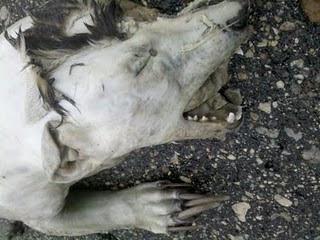 Misterioso animal muerto hallado en EE.UU. Roadkill2