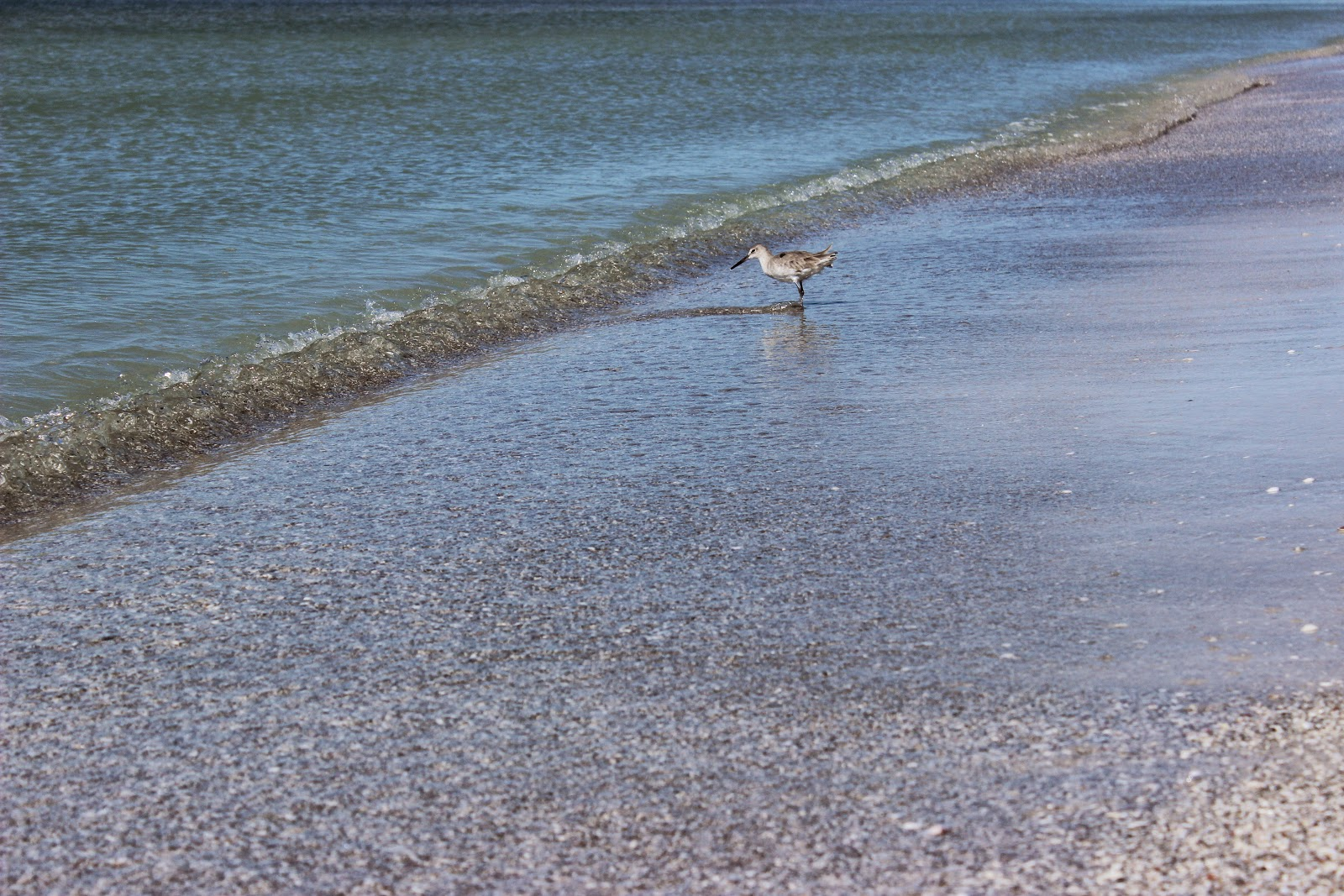 sand piper on St. Pete Beach, FL
