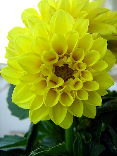 Yellow dwarf dahlia-closeup
