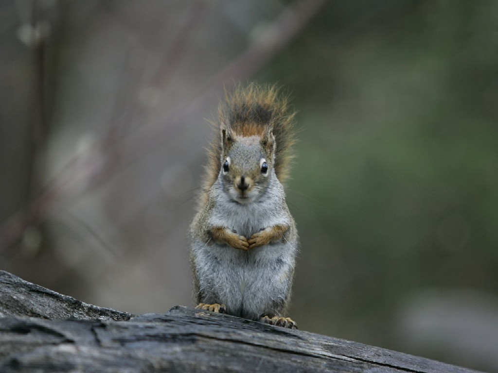 squirrel wallpaper - photo #16