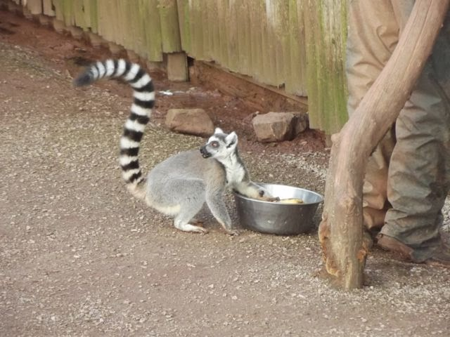 Cheeky ring tailed lemur