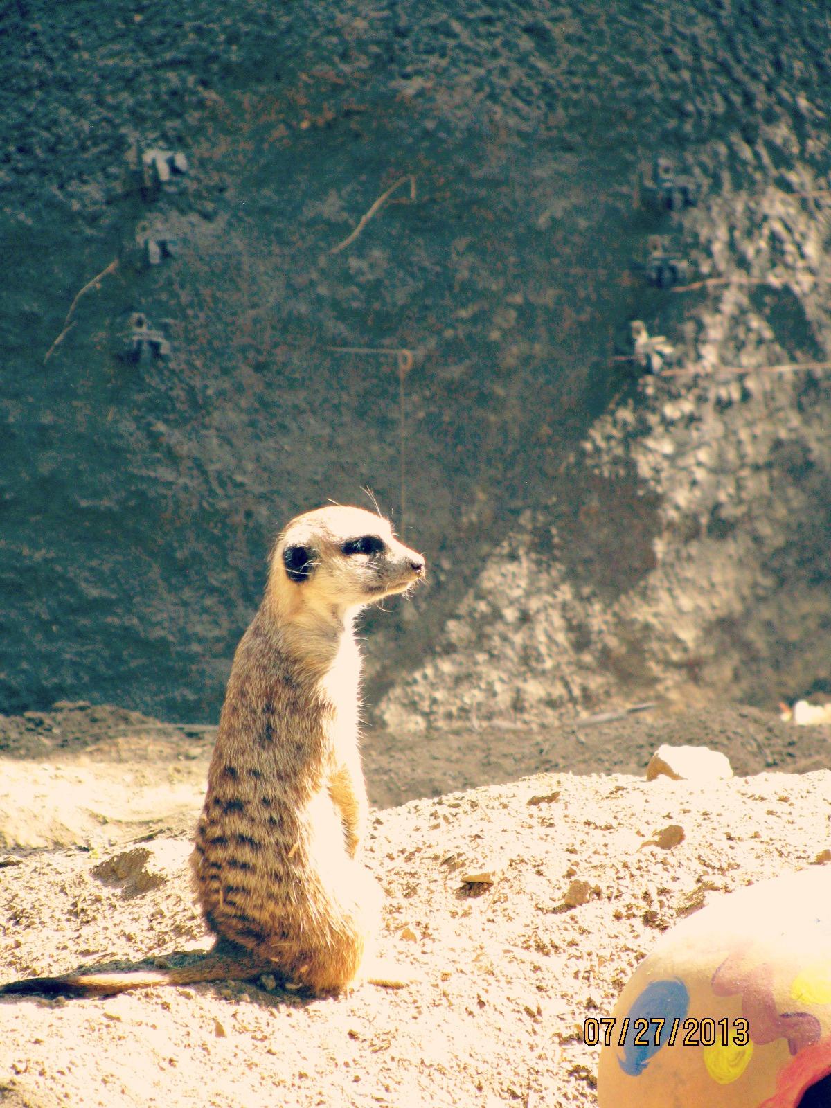 San Diego Safari Park // Alert Meerkat