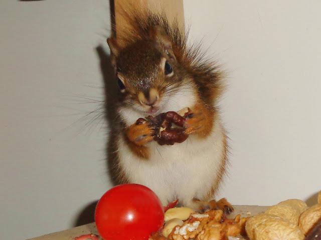 Hodowla Drzewiórki, hudson, hudsony, amerykańskie wiewiórki czerwone, wiewiórka hudsona, Tamiasciurus hudsonicus