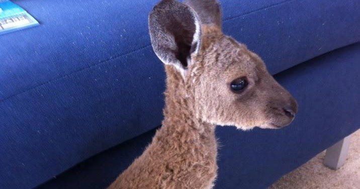 The cutest baby kangaroo ever (pic) | Amazing Creatures