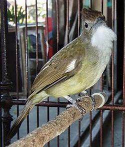 Perawatan burung cucak jenggot