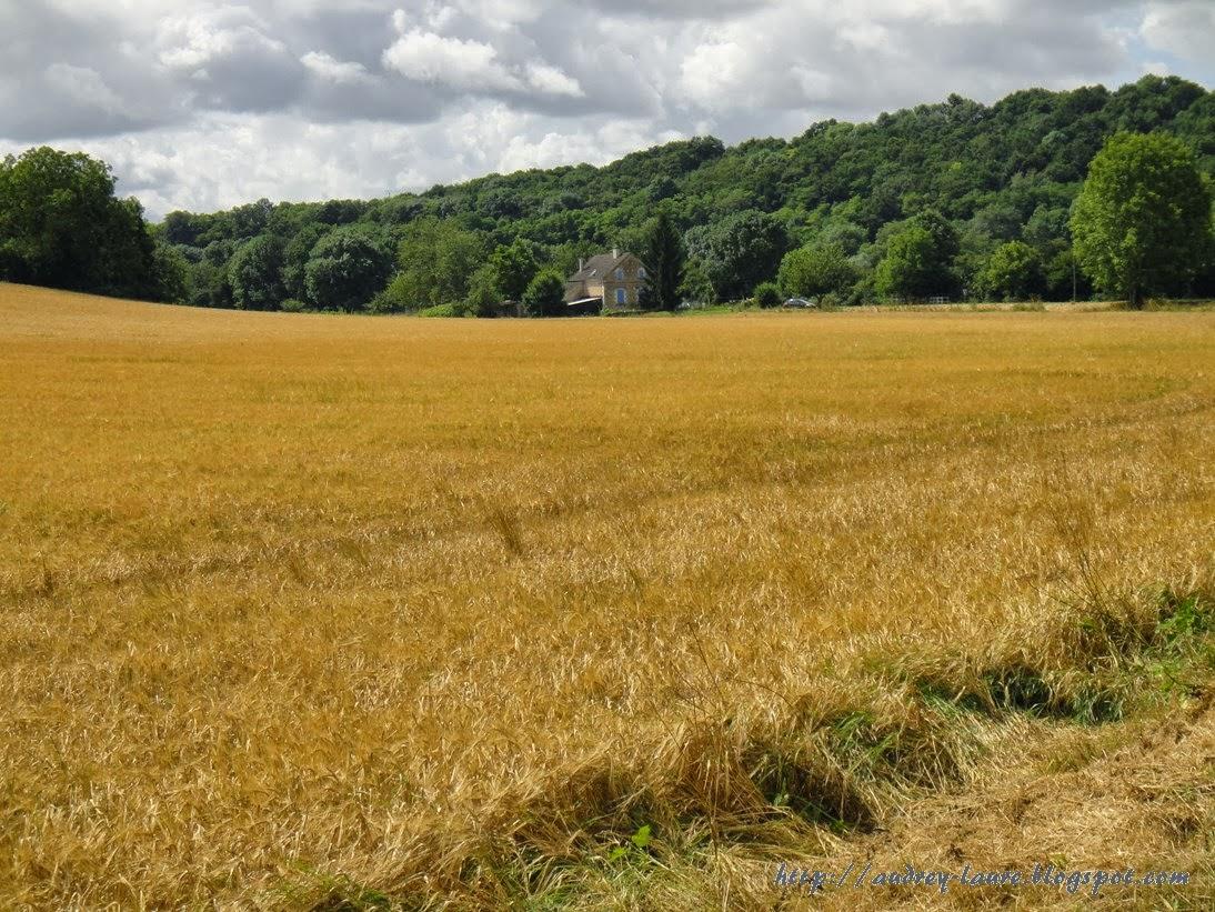champ de blé france