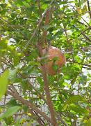foto 2 - granaatappel
