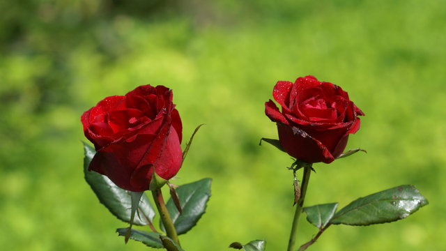 Hoa hồng đẹp tặng người yêu