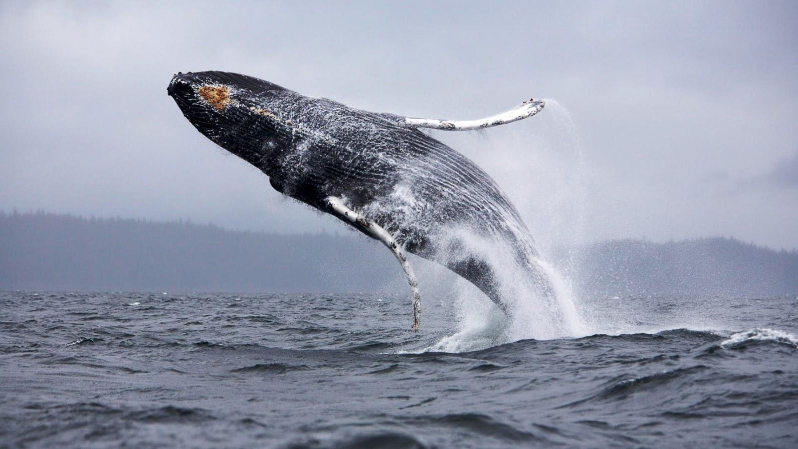 HD Wallpapers Desktop: Whale HD Wallpapers