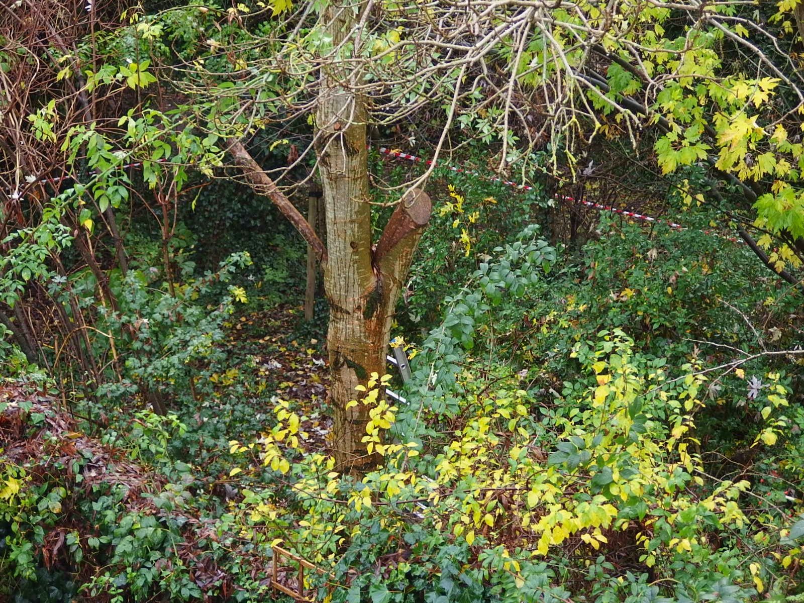 Photo of ash tree at the side of the back garden before its tree surgery