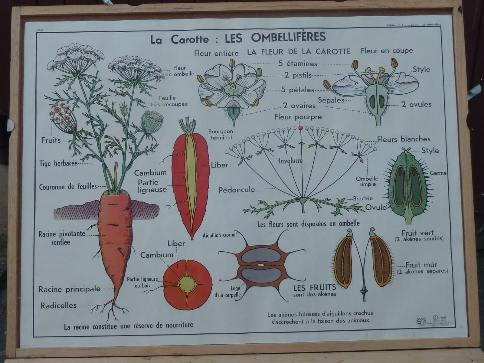 ecole fmr 1000 affiches scolaires fruit cerise legume carotte affiche scolaire maison des. Black Bedroom Furniture Sets. Home Design Ideas