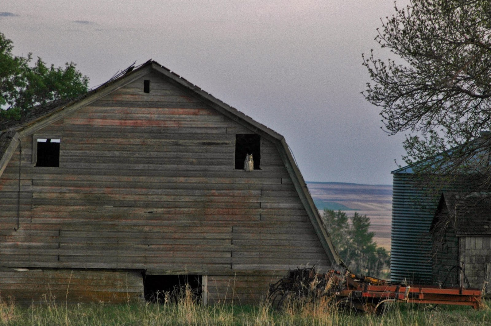 barn owls in a barn - photo #34