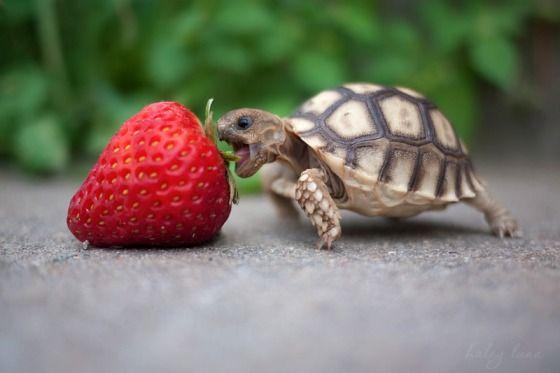 Cute Turtle Eating Strawberry Om nom nom !