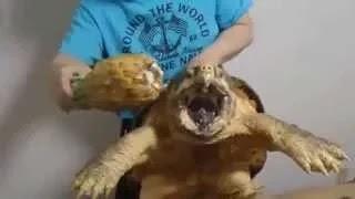 Черепаха ест ананас