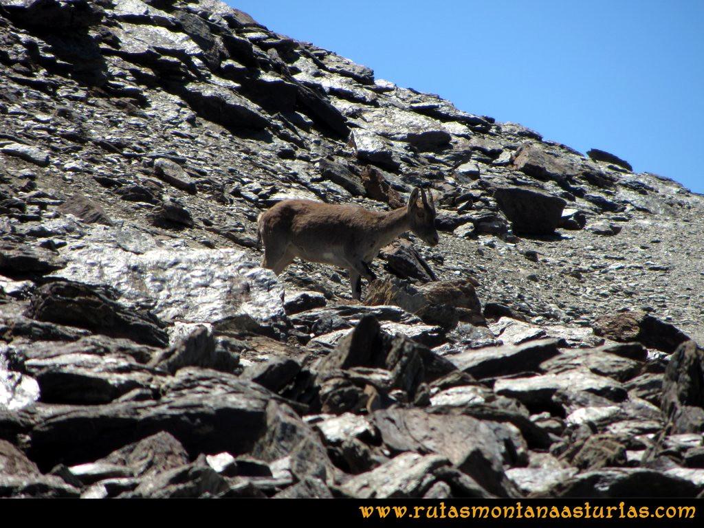 Ruta Hoya de la Mora - Veleta: Cabra Montés