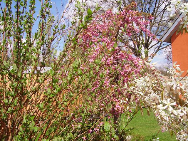 mai baumblüten