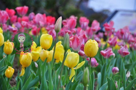 http://2.bp.blogspot.com/-_SWgvheTr44/TZvZq0C1h2I/AAAAAAAAKpI/uieTpWbNuWU/s1600/tulip.jpg
