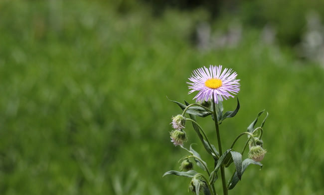 Erigeron Speciosus Flowers