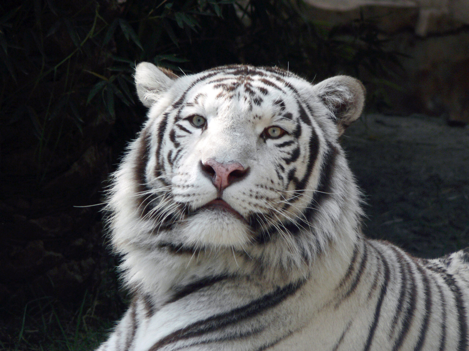 white tiger hd wallpapers high definition free