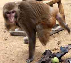 perilaku monyet