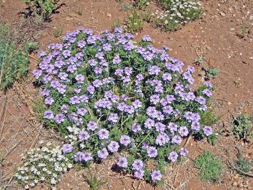 tough plants for northern arizona