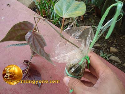 Cara menanam cangkok sirih merah di tanah langsung