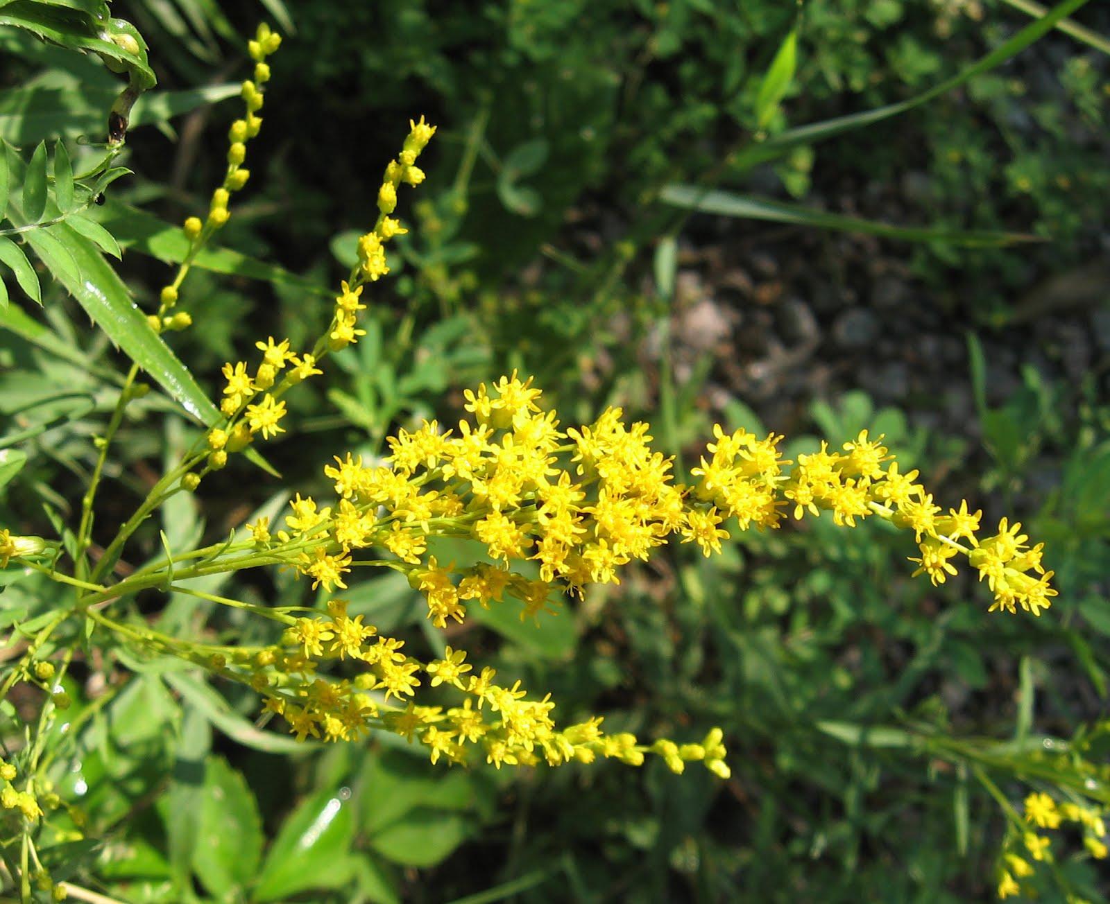 Tangled Web: Early Goldenrod ( - 244.0KB