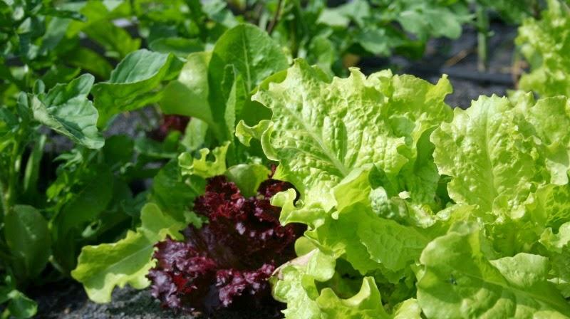 Seven oaks home and garden joy extending the lettuce harvest for How to pick lettuce from garden