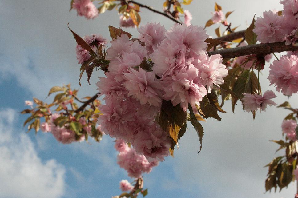 Hanne i haven: lyserøde fyldte japanske kirsebær, og lathyrus ...