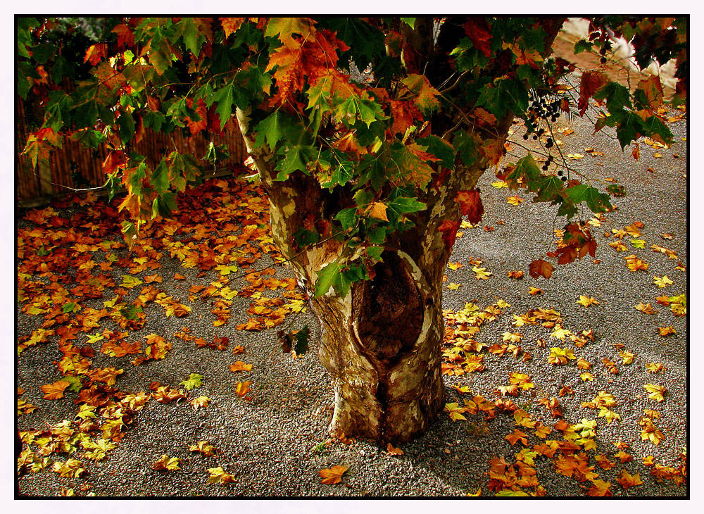 Image gallery hojas de arboles cayendo for Arboles de hoja caduca