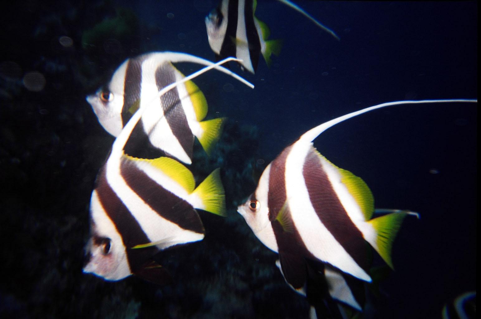 Info junction blog moorish idol for Moorish idol fish