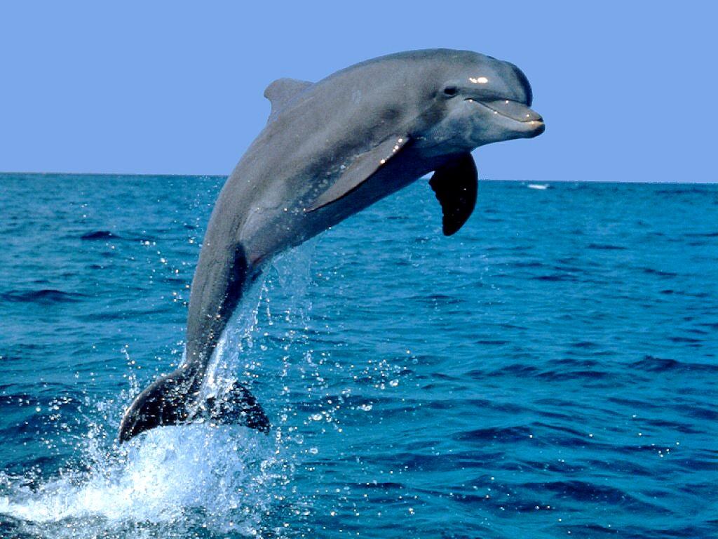 http://2.bp.blogspot.com/-_UZVdOZo1w8/Tsirt1F48DI/AAAAAAAAAcI/m3B95-AJ-Jk/s1600/Delfin1.jpg