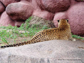 Beautiful golden-tawny coat of Leopard