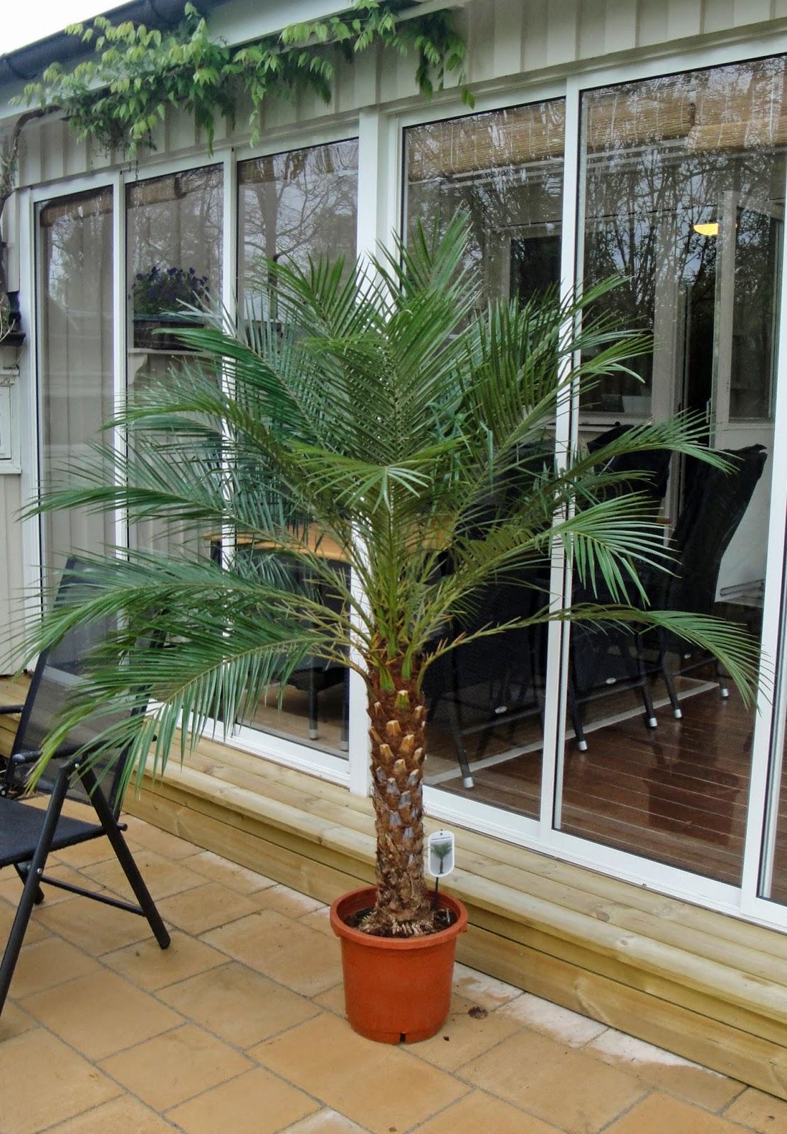 palm Phoenix Robelenii