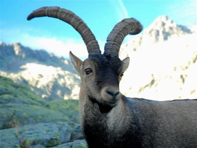Most Amazing Extinct Land Animals Pyrenean Ibex
