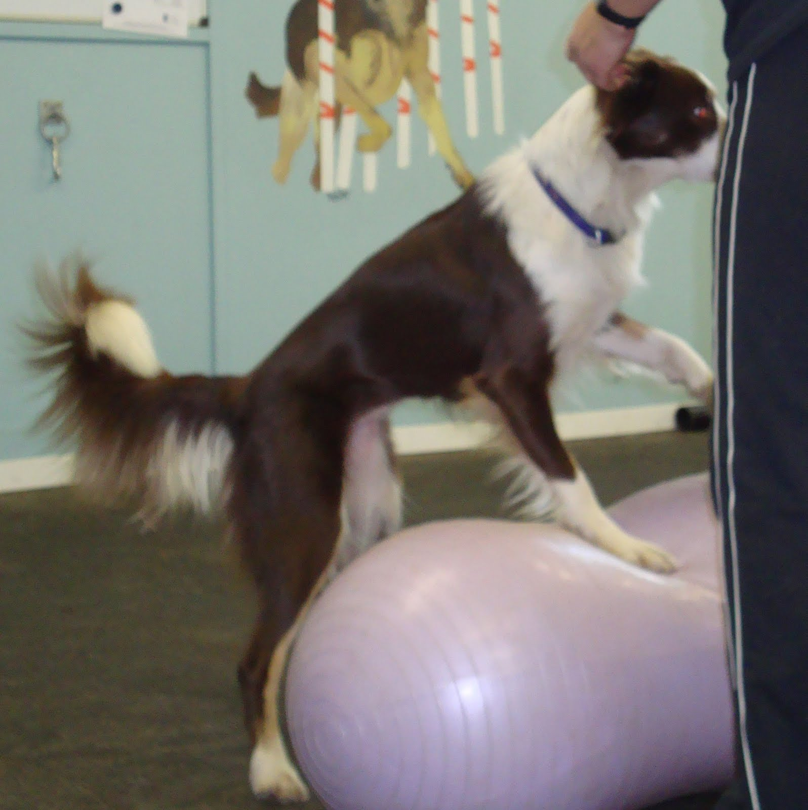 how to teach your dog to balance on a ball