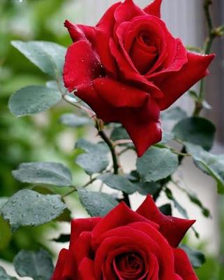 Rosas rojas con espinas