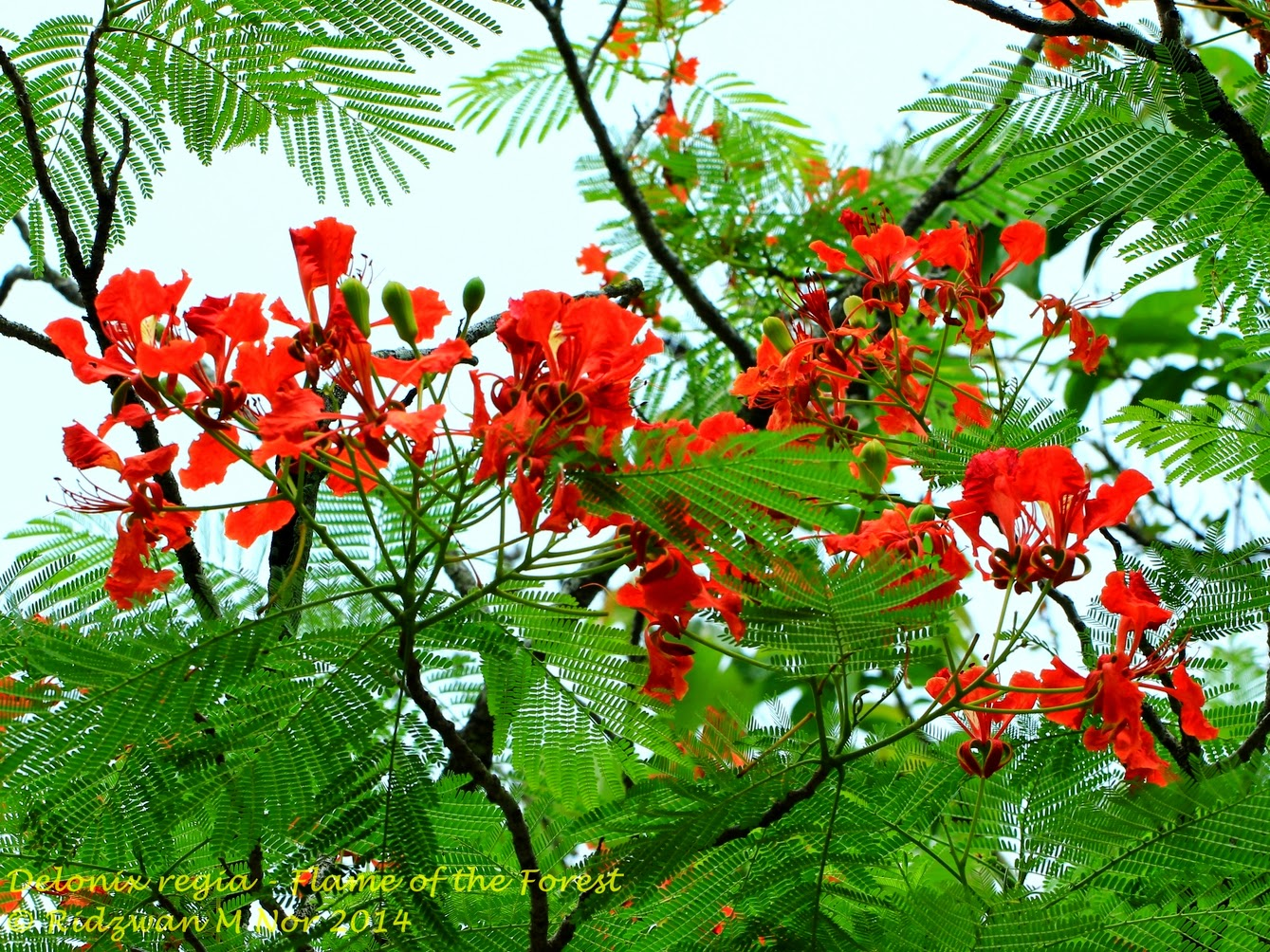 Delonix Regia Flame Tree Of The Forest