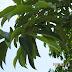 Garcinia cambogia/ Kandis-malabar tamarind
