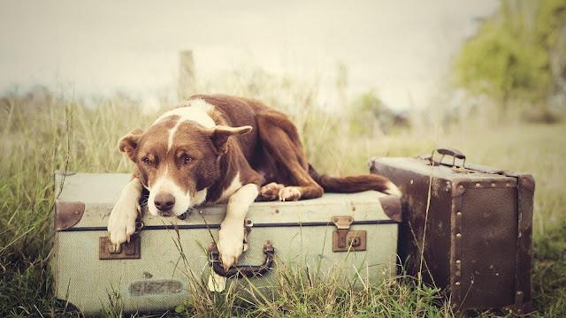 Guard Dog Bag Grass Field Animals HD Wallpaper