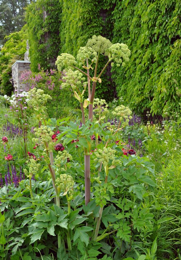 Fiche plante ang lique planters and plants for Plante angelique