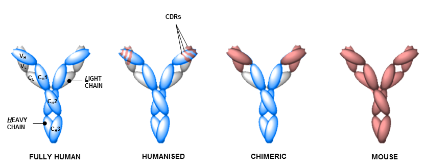 diagram monoclonal antibodies and antibody domains used in cancer therapy - including regulatory and antigen binding variable heavy- and light-chain domains plus differences between fully human, humanized, chimeric and mouse antibody