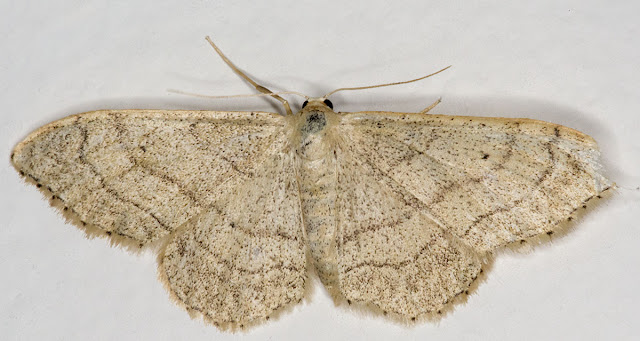 Riband Wave, Idaea aversata forma remutata.   Moth that came to my window on 19 July 2012.