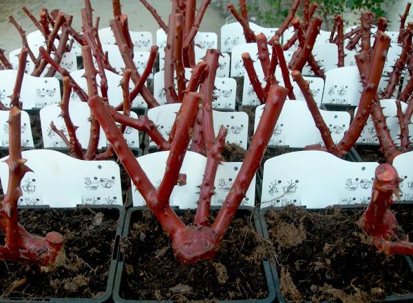 Viveros vangarden rosales de colores for Viveros el rosal