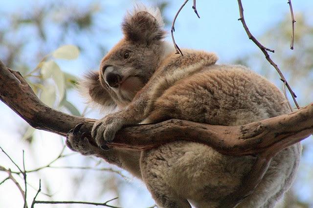 Ursul Koala