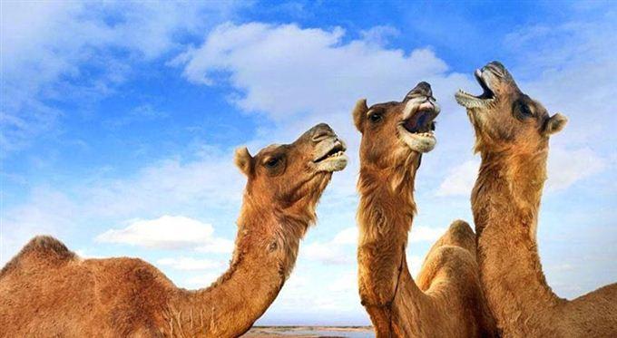 arabia saudita camile australia
