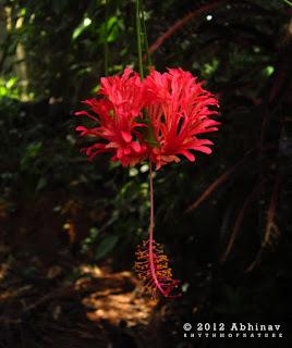 Hibiscus - Japanese Lantern