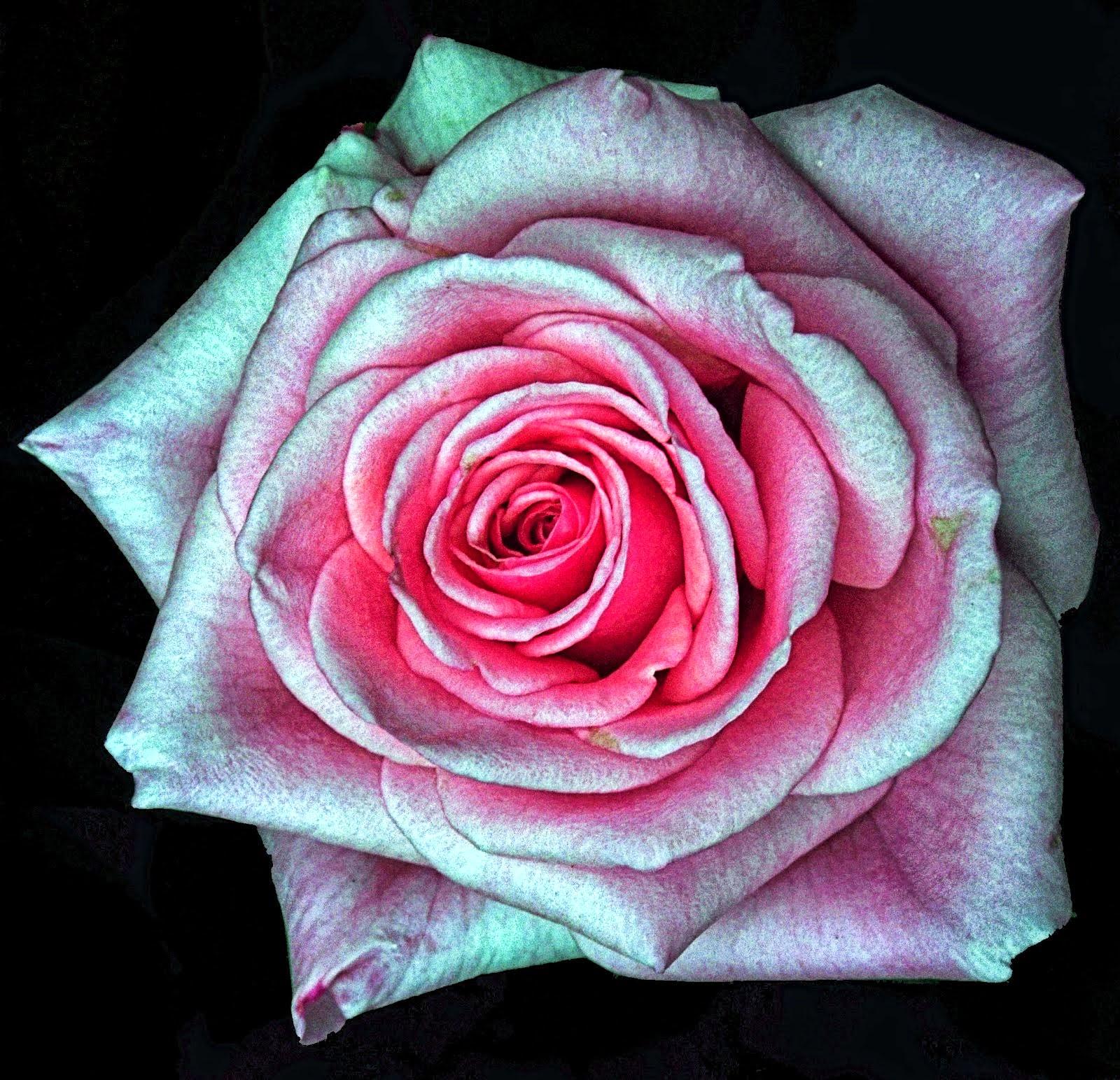 Rosa Scentsation