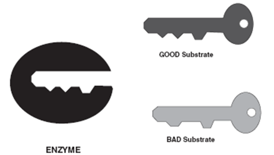 enzymes and substrates relationship trust