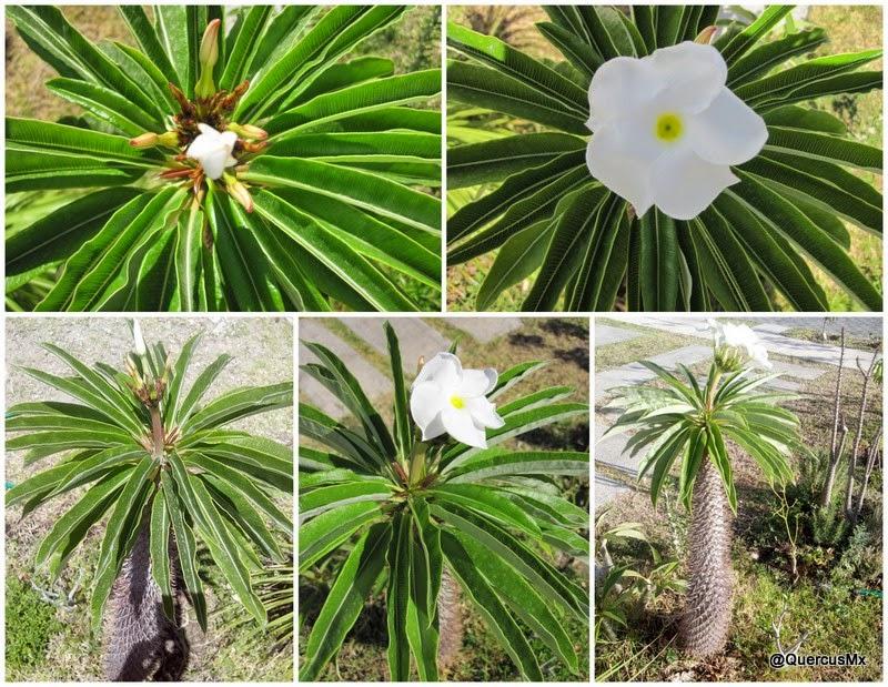 Mi Pachypodium lamerei en abril del 2014 - Sus primeras flores después de ~16 años!